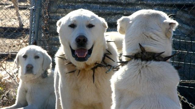 Cumhurbaşkanına hediye edildi, talep patladı: Bu köpekleri isteyenler 6 ay bekliyor