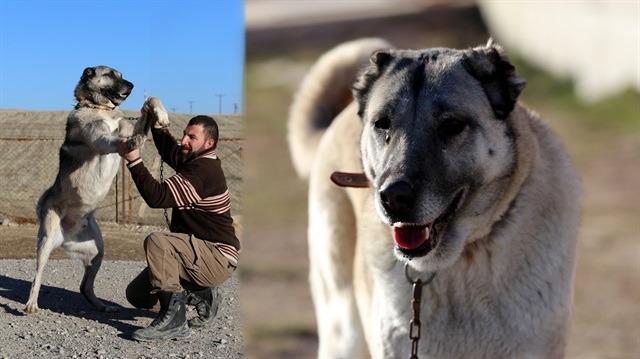 Kangal köpeğinin sırrını açıkladı: Kangal köpeği ısırmaz, teslim alır
