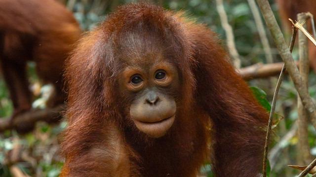 Üzerine 74 tüfek saçması isabet eden 'Orangutan' kurtuldu