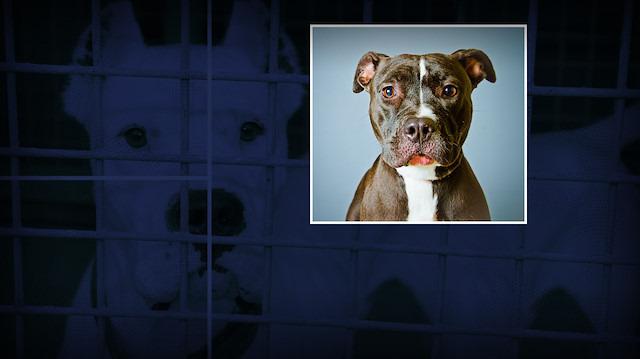 Pitbull masum olabilir mi? Köpek saldırıları cinsle mi eğitimle mi ilgili?