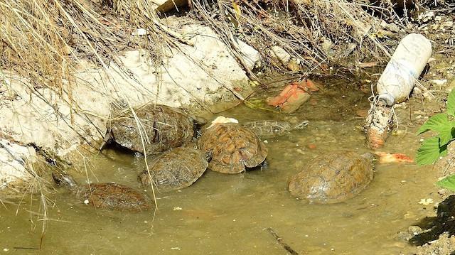 Dere yatağında mahsur kalan kaplumbağalara vatandaşlar bakıyor