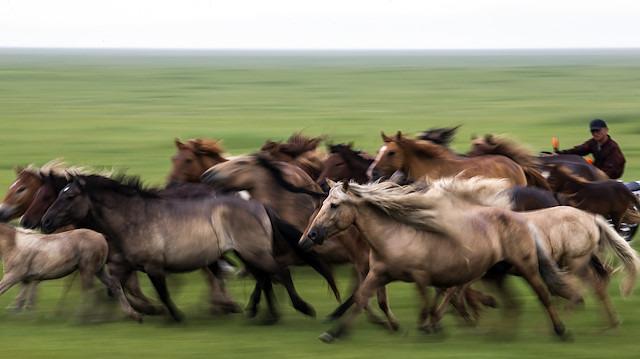 Moğolistan'da atlar neden önemli?