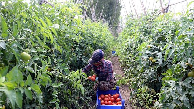 Tokat domatesi 13 bin kişiye ekmek kapısı oldu