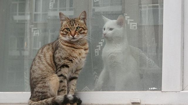 Yaşamın iki yüzü: Kedilerden biri soğukta diğeri sıcakta yaşıyor