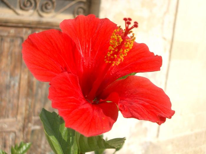 Bu çiçek, bağımsızlığın sembolü