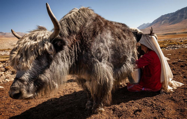 Sığır türünün en güçlüsü olan yak, Kırgızların hem süt hem de yün ihtiyacını sağlıyor.