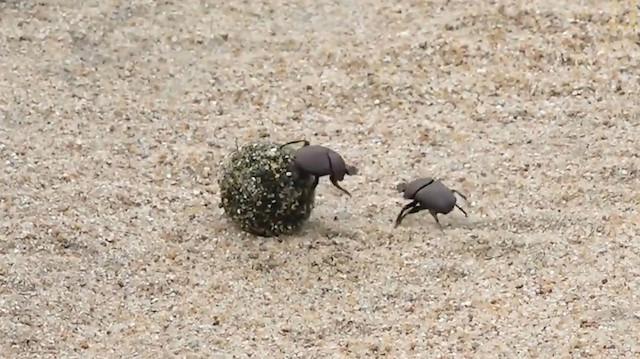 Gübre böceğinin çekişmeli kavgası kamerada
