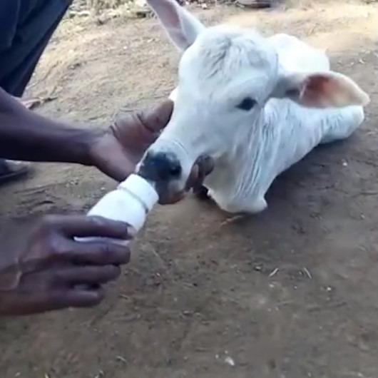Koca yürekli çiftçiden 2 ayaklı doğan buzağıya anne şefkati