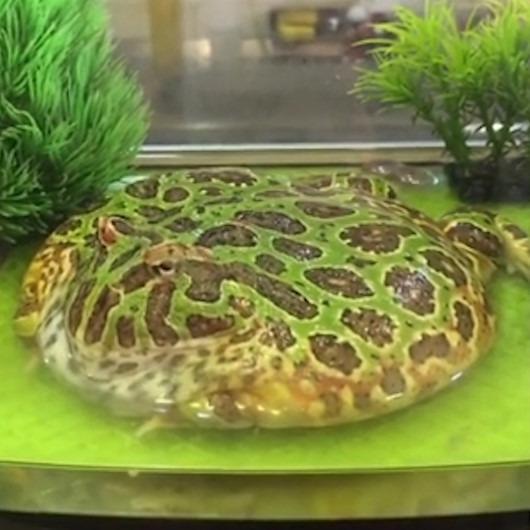 Kafede sergilenen gözleme şeklideki kurbağa ilgi odağı oldu