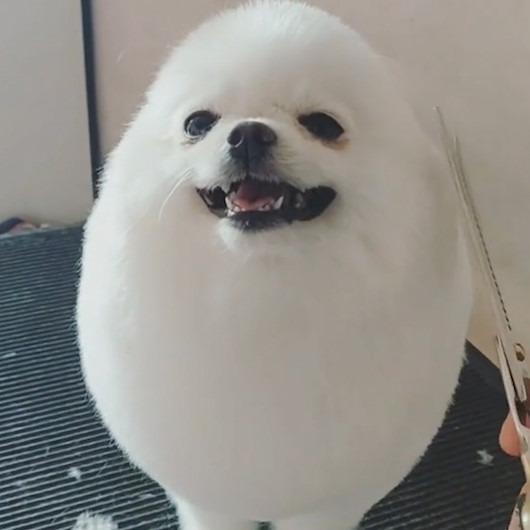 Sahibi tarafından traş edilen köpeğin sevinci