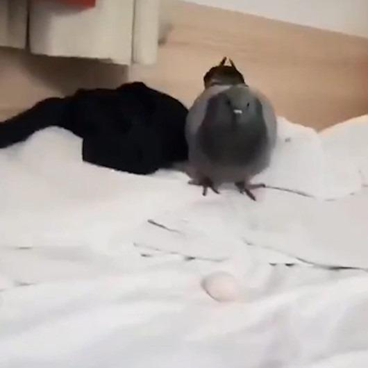 Yatağını işgal edip yumurta bırakan güvercinle ilginç sohbet