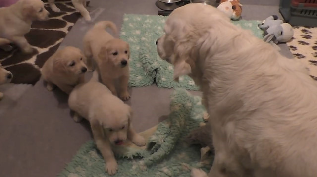 Deneyimli anne köpek 8 haftalık yavrularına sabırlı olmayı öğretiyor