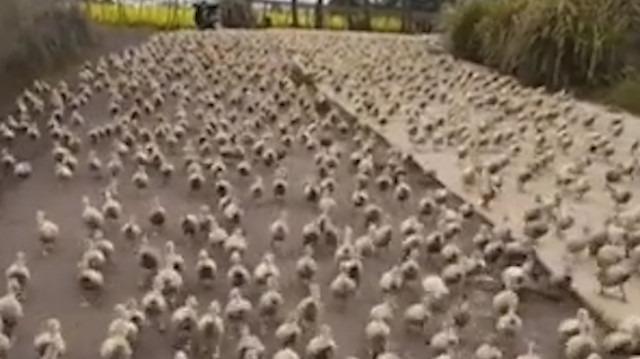 6 bin ördeğin yiyecek mücadelesi