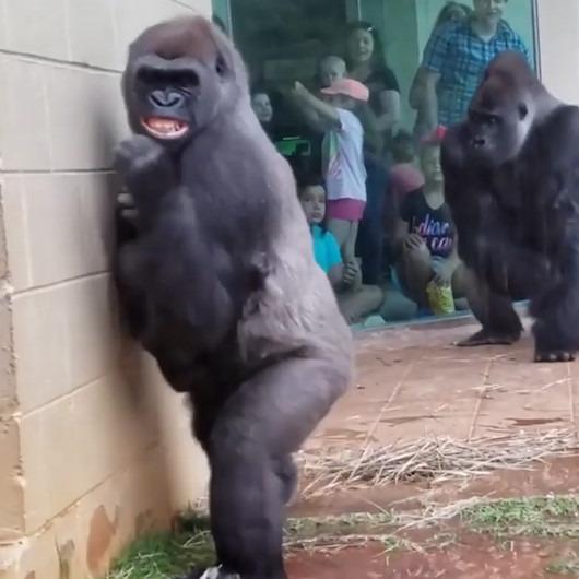 Gorillerin yağmura verdiği ilginç tepki