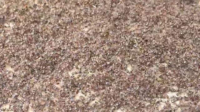 Karınca savaşında çok can yanıyor