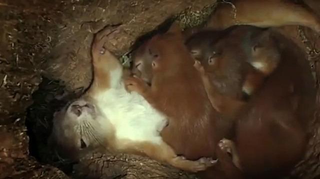 Bir ağacın kovuğunda 4 yavrusunu doğurup büyüten anne sincabın zorlu mücadelesi