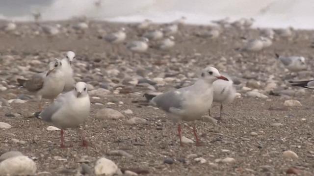 Dünyaca ünlü sahilde martı istilası
