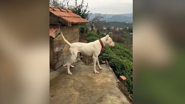 Eve yaklaşan yabancı köpeklere karşı Dogo Arjantin'in tepkisi