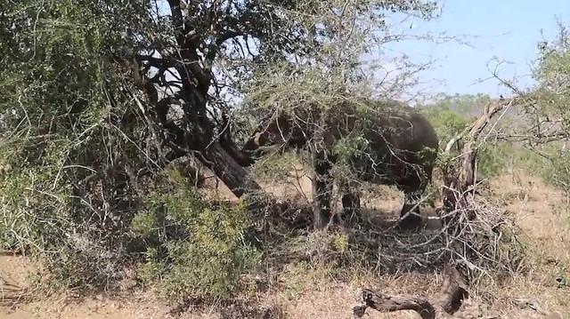 Karnı acıkan fil ağacı devirip kendisine ziyafet çekti