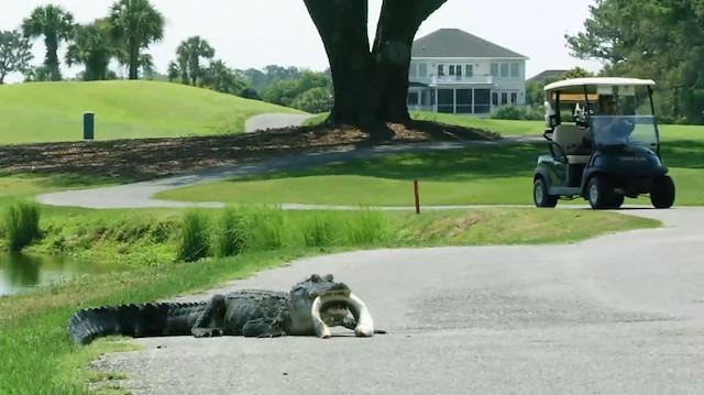 Golf sahasında iki davetsiz misafir: Timsah ve yılanbalığı