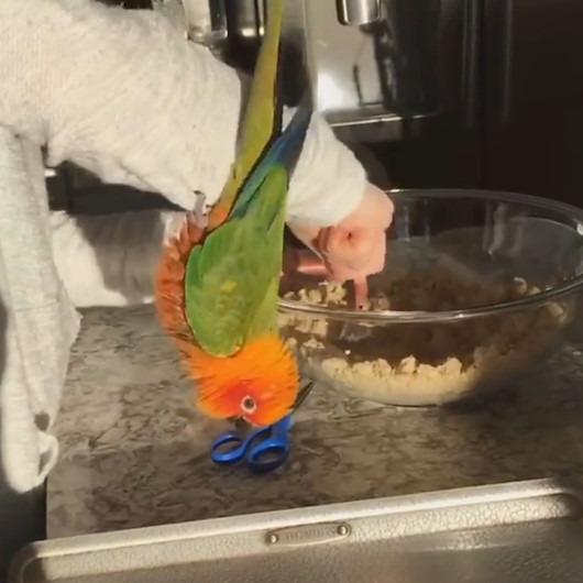 Mutfak işlerinde ev sahibine yardım eden papağan