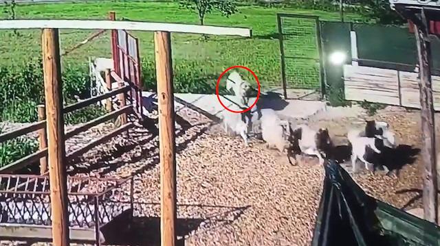 Gözü dönen kangal korumakta olduğu sürüye saldırdı