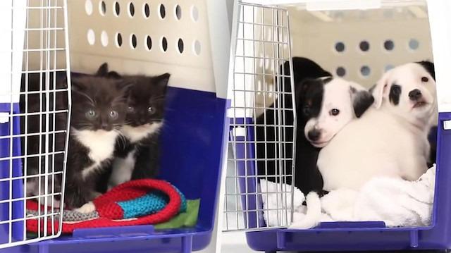 Hayatlarında ilk kez köpeklerle tanışan yavru kediler