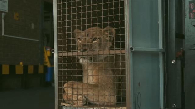 Sirkten kurtarılan 4 aslan Turkish Cargo ile özgürlüğüne kavuştu