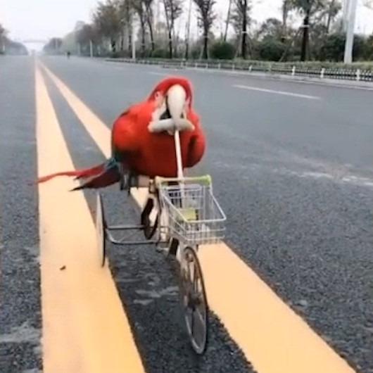 Bisiklet kullanıp patenle kayan akıllı papağan
