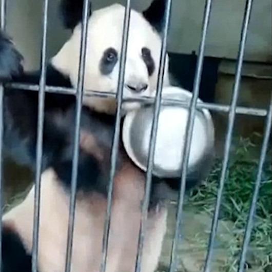 Mama gelmediği için öfkelenen panda sahibini protesto ediyor