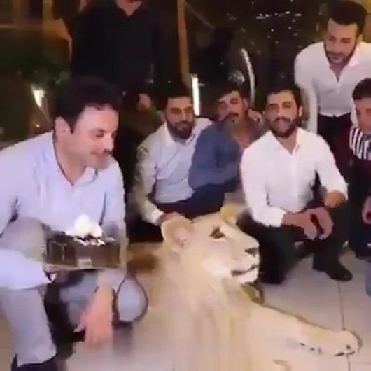 Aslanın yüzüne doğum günü pastası fırlatan acımasız adam
