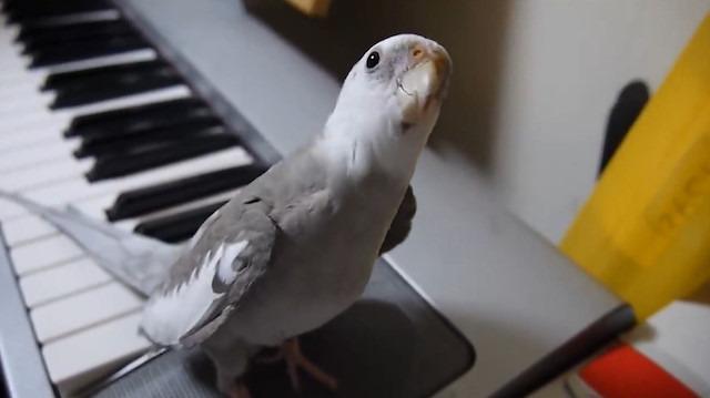 Sultan Papağanı'nın piyanoya ıslıkla eşlik ettiği anlar