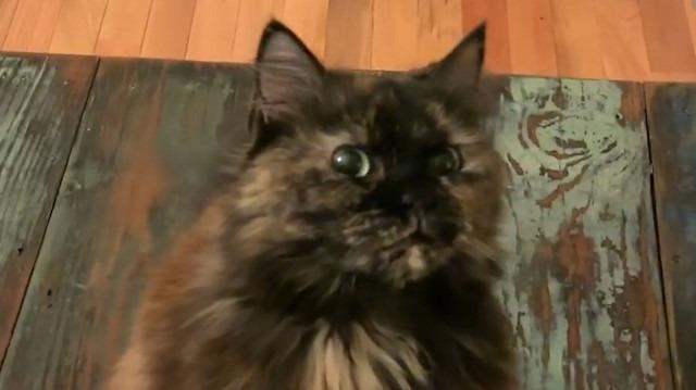 Televizyon izlerken önünden geçilince sinirlenen kedi