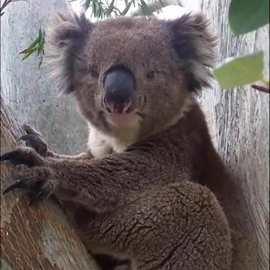 Çiftleşme çağrısında bulunan koalanın çıkardığı ilginç ses