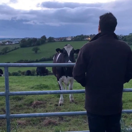 Sahibinin İrlanda şarkısı söylemesiyle toplanan meraklı inekler
