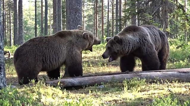 Hiçbir tabiat olayı 'ayı kavgası' kadar haşin olamaz