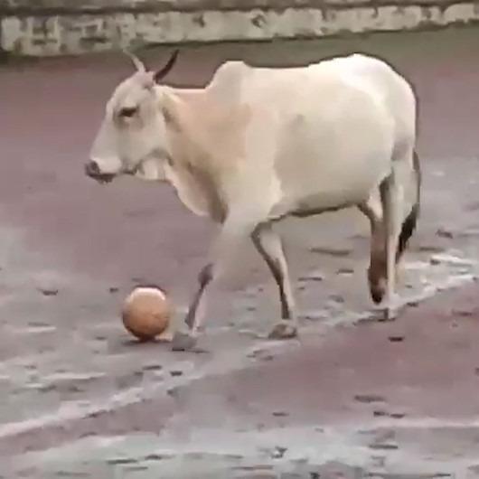 Futbol sahasını basan inek gençlere zor anlar yaşattı