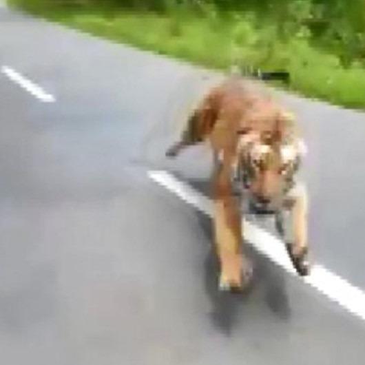 Otoyola çıkan kaplan, motosiklettekileri böyle kovaladı