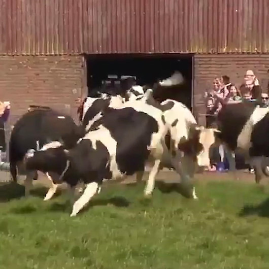 Uzun süre ahırda kalan ineklerin dışarı çıktığı muhteşem anlar