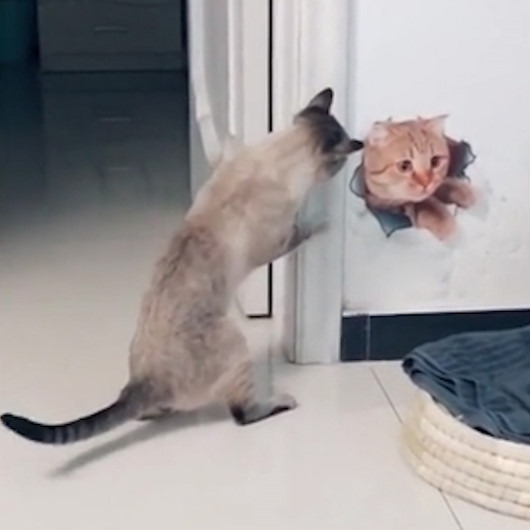 Duvara çizilen 3 boyutlu resimle mücadele eden sevimli kedi