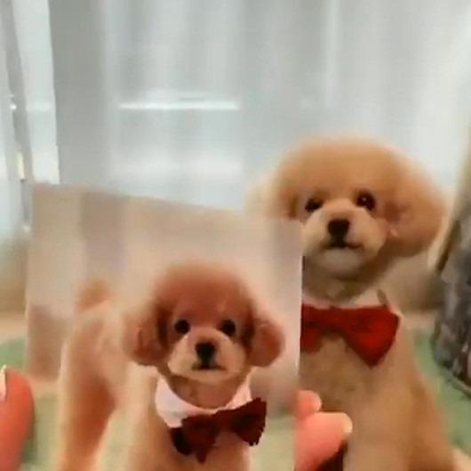 Daha önce verdiği pozların aynısını tekrar veren sevimli köpek
