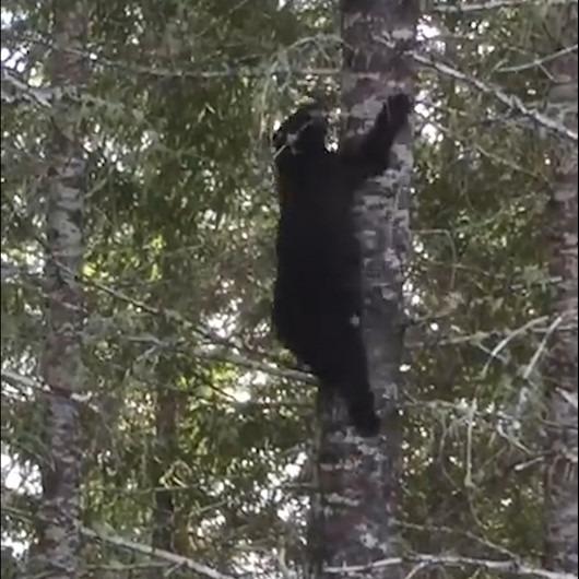Ormanda bir ayıyla karşılaştığınızda yapmamanız gereken ilk şey: Ağaca tırmanmak