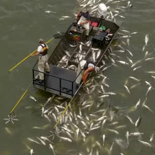 Elektroşok teknesiyle toplanan sazan balıkları
