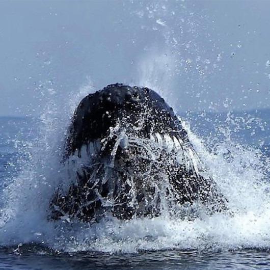İngiltere kıyılarında ortaya çıkan dev kambur balinanın ürkütücü görüntüleri