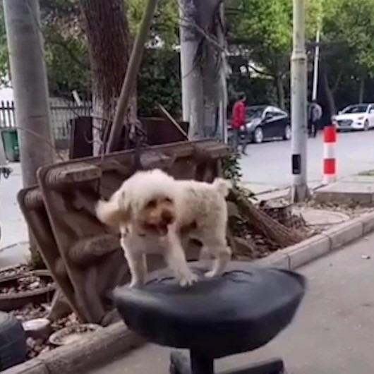 Döner sandalyeye kendini kaptıran köpeğin gülümseten anları