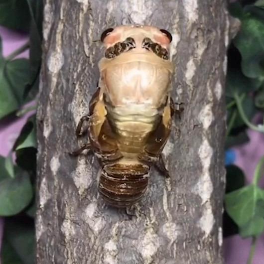 Ağustos böceğinin kabuk değişimini gösteren muhteşem timelapse