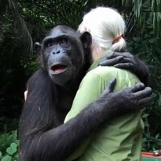 Doğaya salınan şempanzenin 'kalpleri ısıtan' görüntüleri