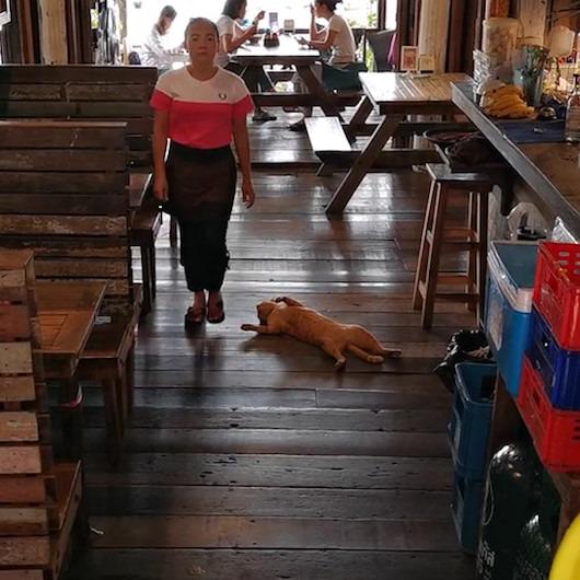 Restoranın ortasında fütursuzca yatarak kendini sevdiren kedi
