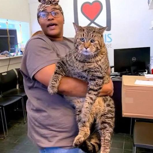 Barınaktan sosyal medya fenomenliğine: 26 kiloluk kediyi sahiplenmek için sıraya girdiler