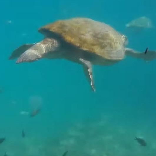 Caretta carettalar turistlerle yüzdü